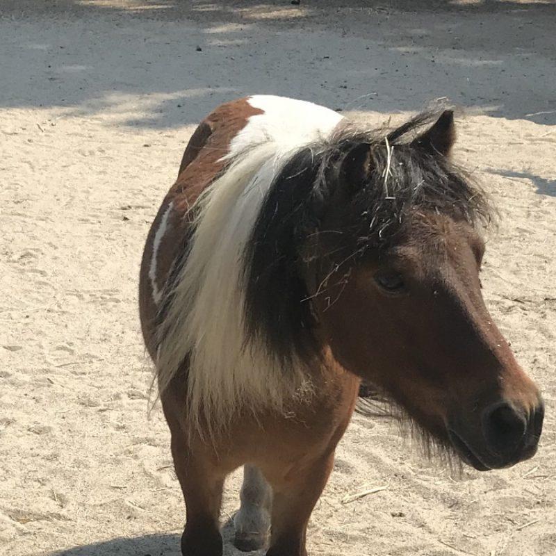 Kalle-Pony